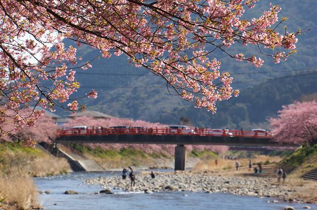 写真: 河津と桜