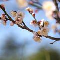 写真: 一枝の梅