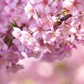 写真: 桜の天井