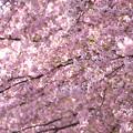 写真: 一面の桜模様