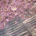 写真: 桜木漏れ日