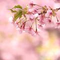 写真: 桜色の風景