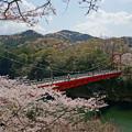 写真: 赤い橋と桜の花