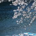 写真: 桜とボート