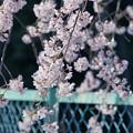 写真: 金網と桜
