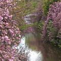 写真: 川沿いの八重桜