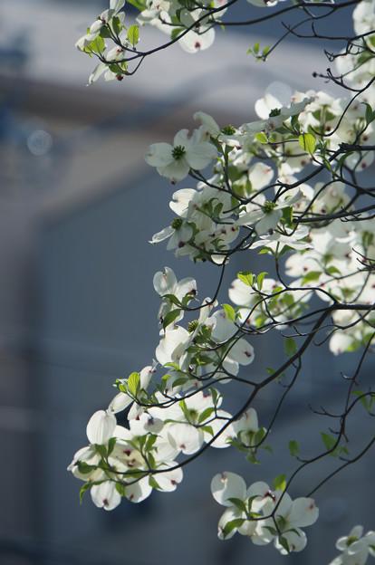 花は盛りと