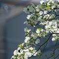 写真: 花は盛りと