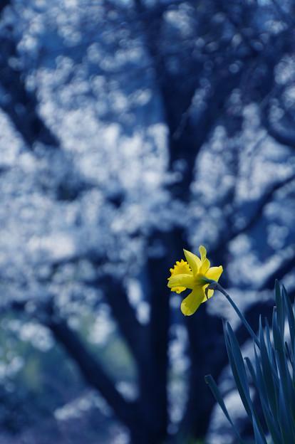 Photos: 黄色い一輪