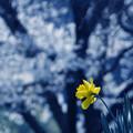 写真: 黄色い一輪