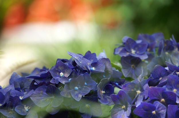 濃色紫陽花