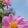写真: 青空ピンク