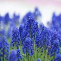 写真: 紫の群生