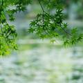 Photos: 水辺の青もみじ