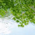 写真: 青葉と波紋