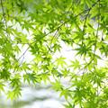写真: 青紅葉の簾