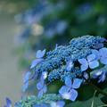 青色の額紫陽花