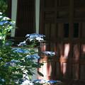 写真: お堂の紫陽花