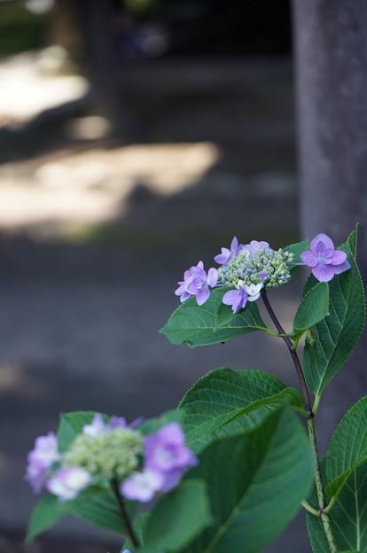 紫陽花と木漏れ日