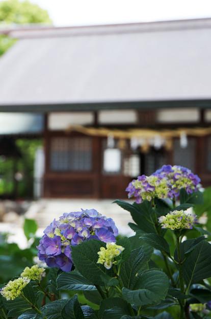 紫陽花の咲く神社
