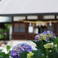 Photos: 紫陽花の咲く神社
