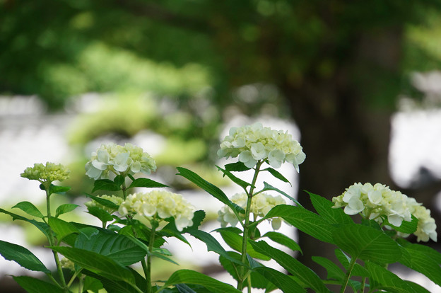 白い紫陽花たち