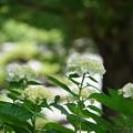 写真: 白い紫陽花たち