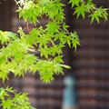 Photos: 青もみじの寺