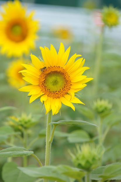 満開の太陽