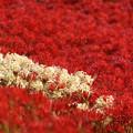 写真: 群れ咲く季節