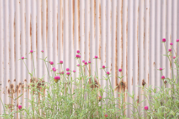 Photos: 壁の花