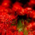 写真: 赤い幻想