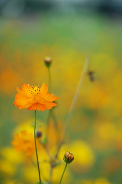 黄花揺れる