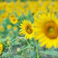 写真: 満開の太陽