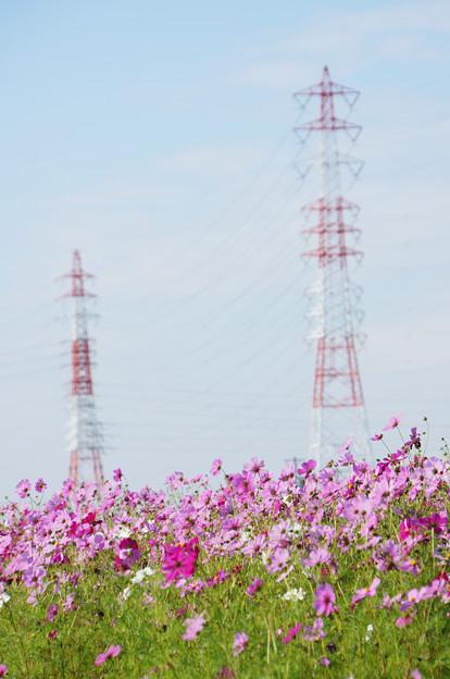 鉄塔とコスモス