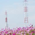 写真: 鉄塔とコスモス