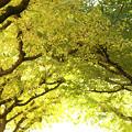 黄色の季節