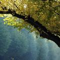 写真: 銀杏の庇