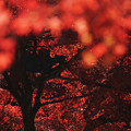 写真: 紅葉の帳