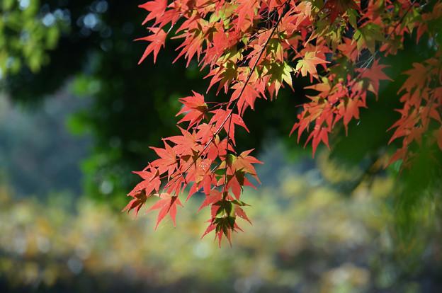 赤の葉さらさら
