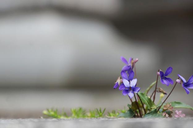 スミレの花の咲く頃に