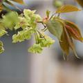 Photos: 黄緑色の桜
