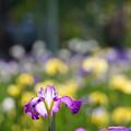 Photos: 紫の縁取り