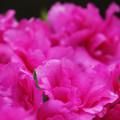 Photos: バラのように咲く