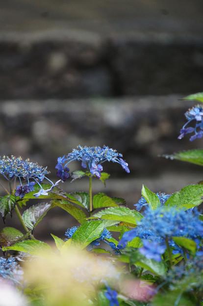 石段と青い紫陽花