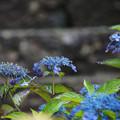 Photos: 石段と青い紫陽花