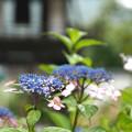 Photos: 紫陽花と鐘楼