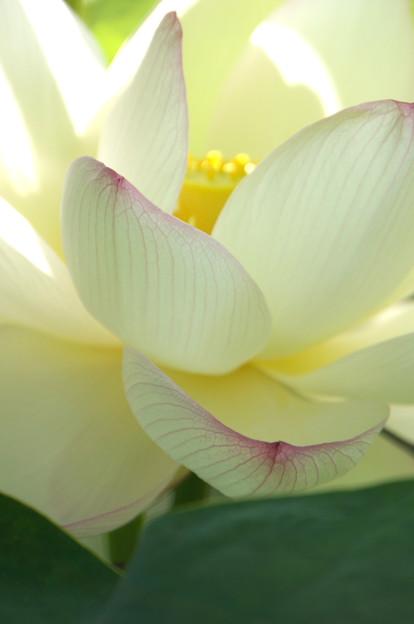 Photos: 白い花弁