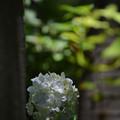 DSC_白い紫陽花2-F