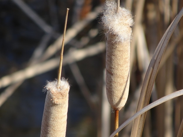 写真: ガマの穂綿